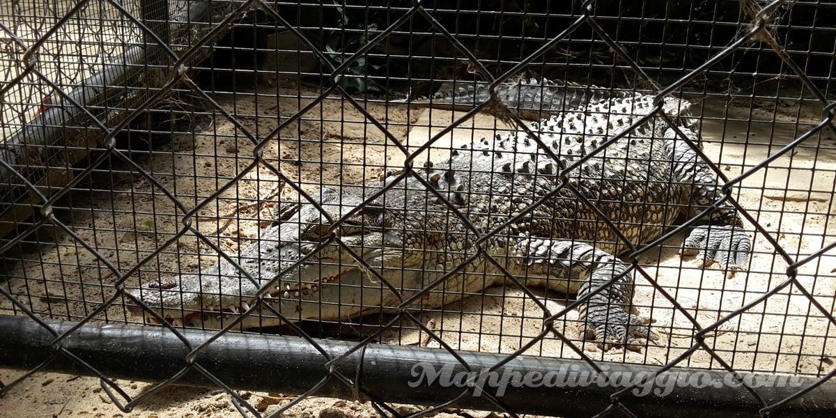alligatori-kangaroo-island-wildlife-park