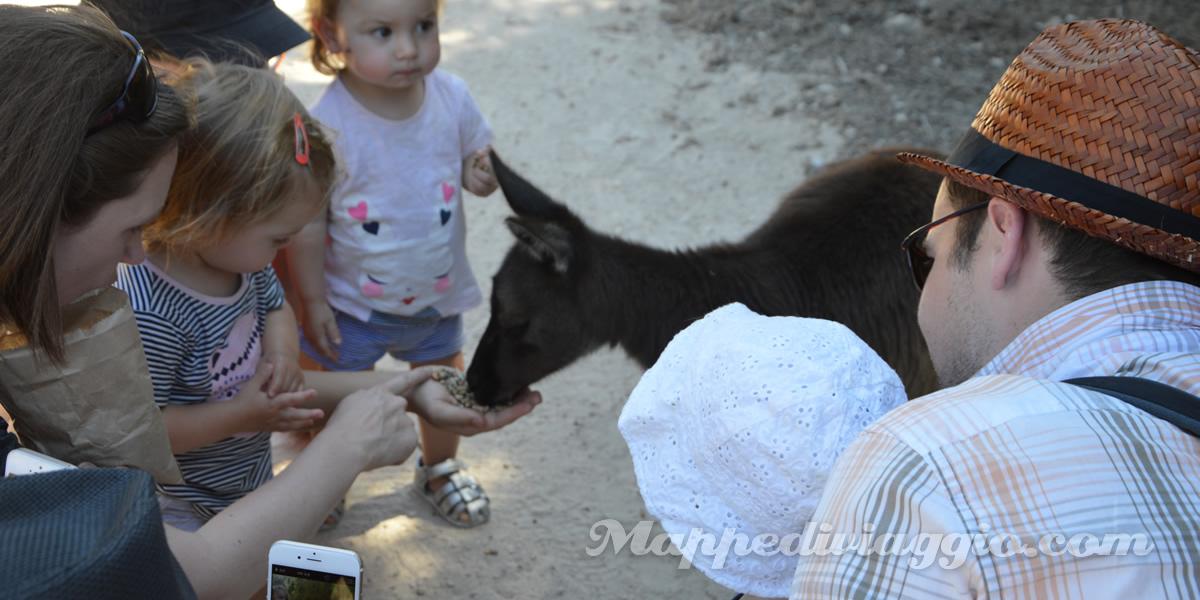 bambini-danno-cibo-canguri
