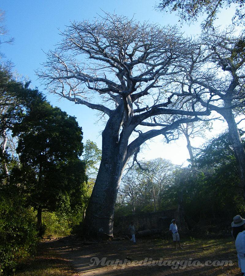 baobab-gede-watamu