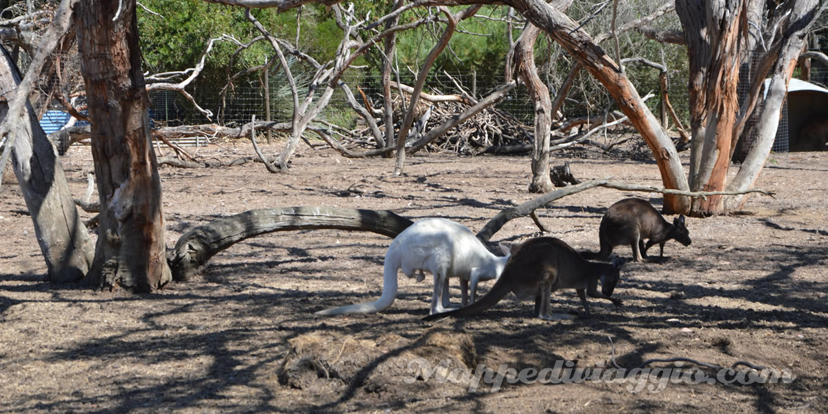 canguri-selvaggi-kangaroo-island