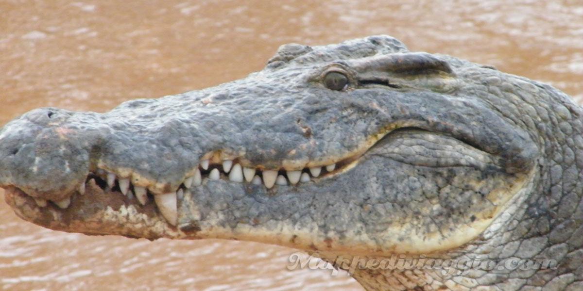 foto-coccodrilli-safari