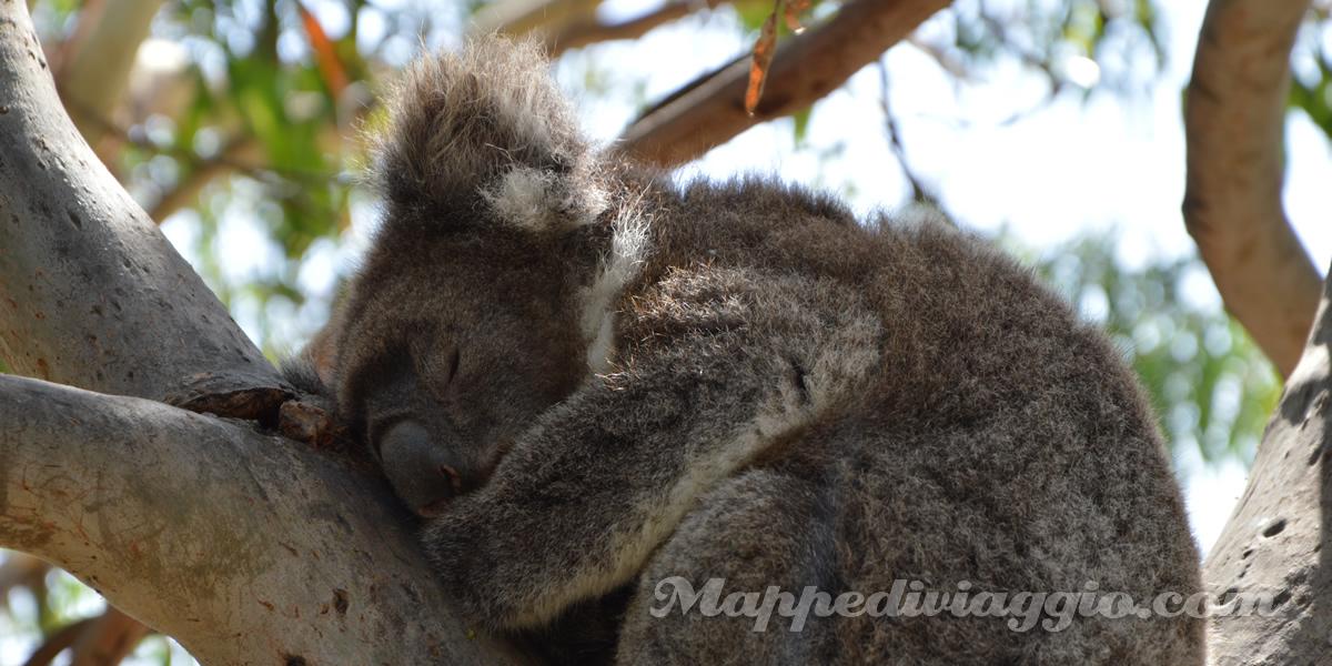 foto-koala-dodici-apostoli