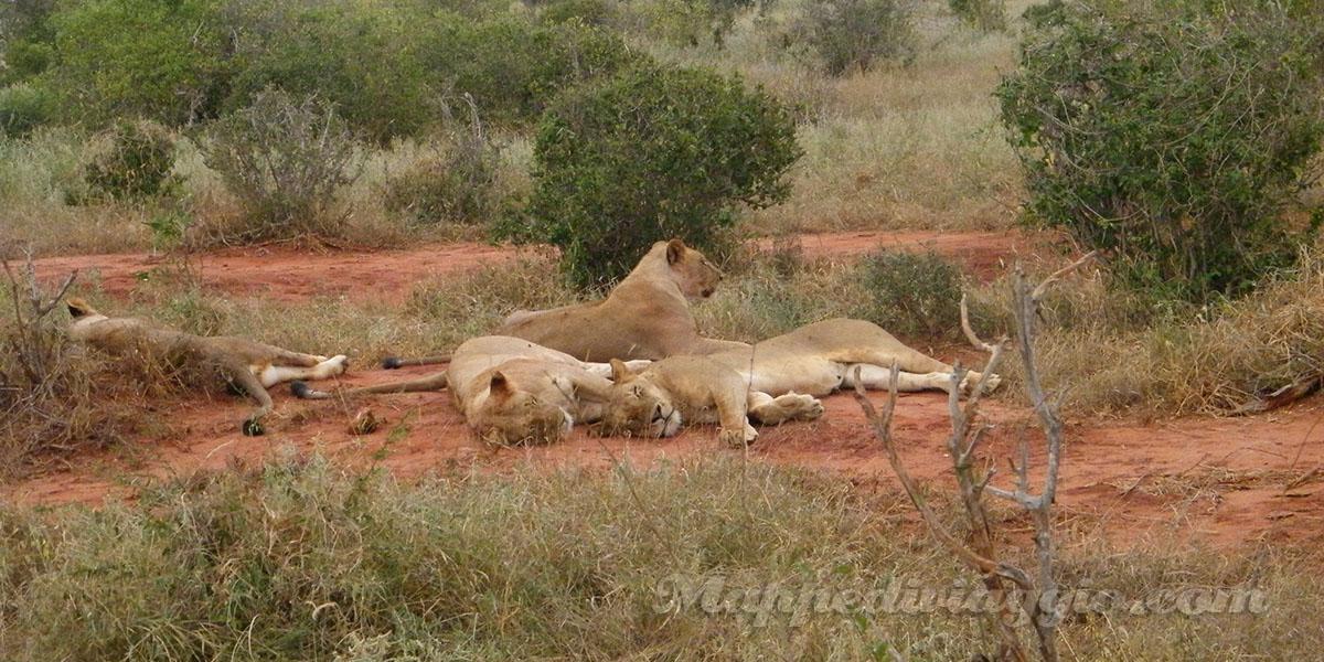 foto-safari-leoni
