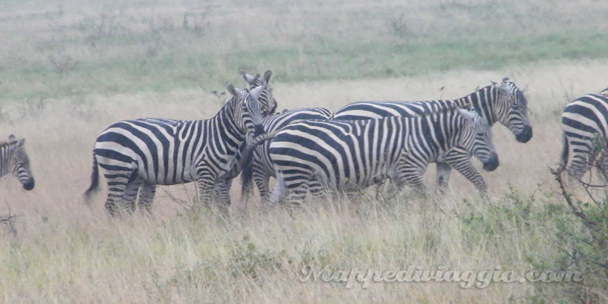 foto-zebre-safari