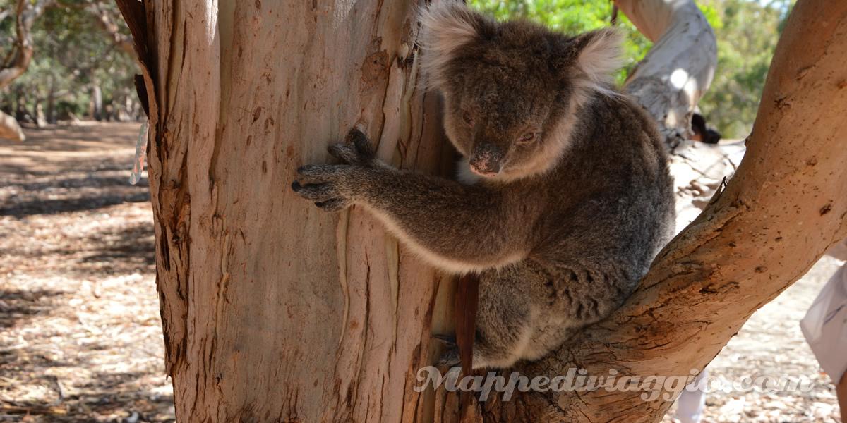 hanson-bay-koala-kangaroo-island