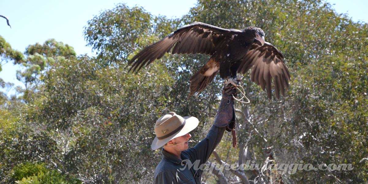 kangaroo-island-birds-of-prey-spettacolo-rapaci