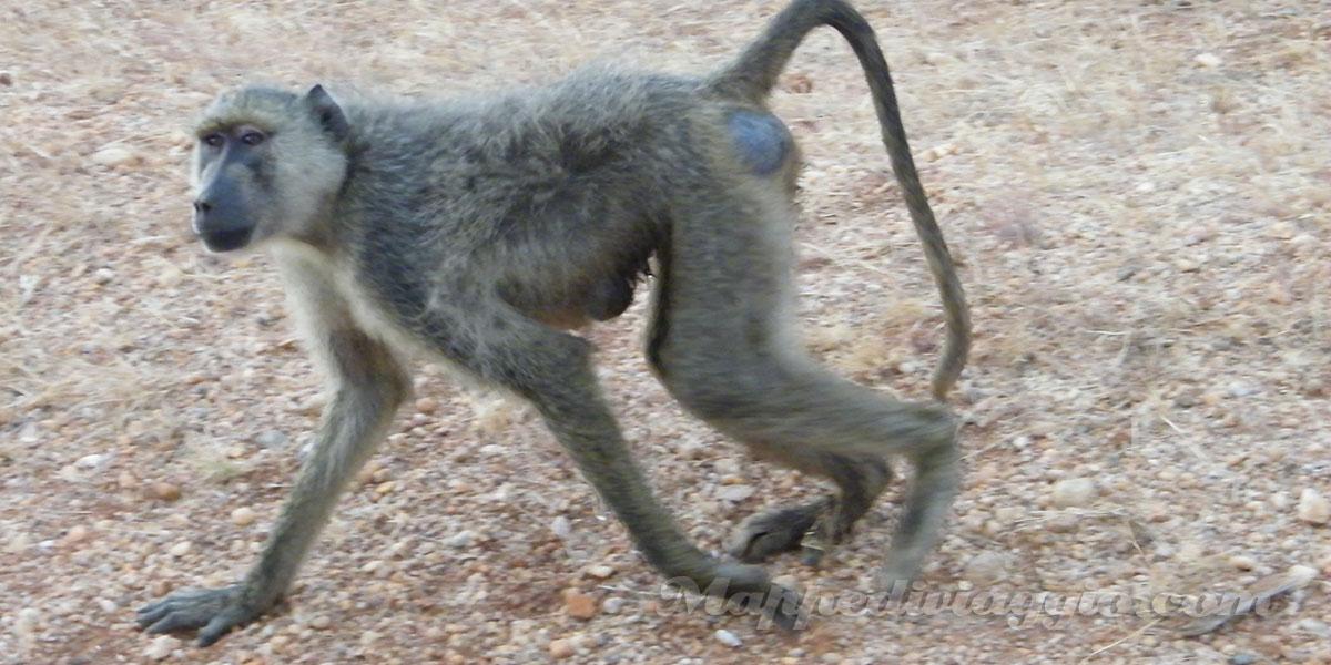 scimmie-nella-savana
