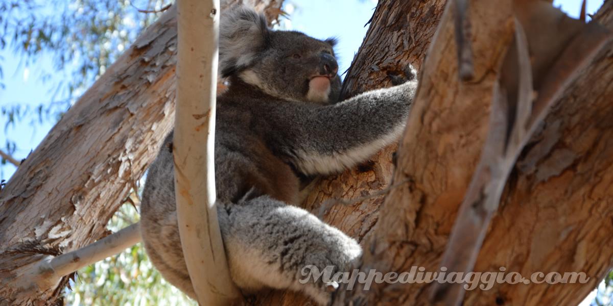tour-hanson-bay-foto-koala